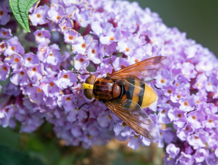 Largest hoverfly in UK, Hornet Mimic Hoverfly on Buddleia. Stock Photo