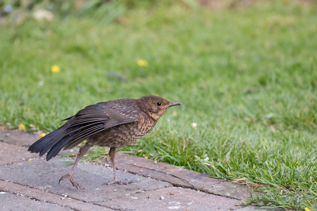 Young European Blackbird stretching its wing in Sussex garden Stock Photo