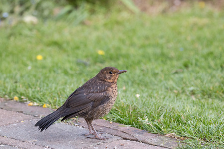 European Blackbird fledgling in Sussex Garden.