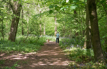 Unidentifiable person walking dog through English Bluebell woods. 스톡 콘텐츠