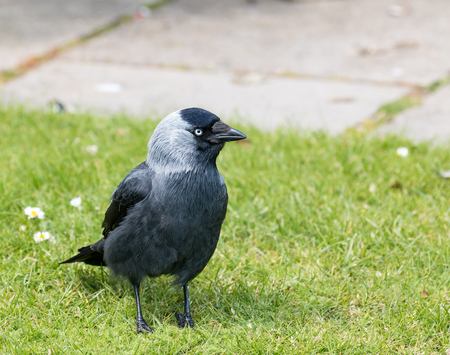 Adult Jackdaw on Brownsea Island, showing its defined plumage and pale blue eye.