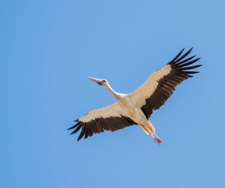 White Stork flying South during Autumn or Fall migration across The Straits of Gibraltar. Banque d'images - 131407798