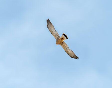 Lesser Kestrel in flight, showing pale underwings. Andalucia, Spain.