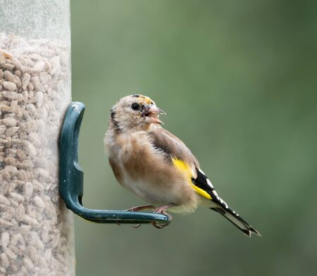 Juvemile European Goldfinch with adult plumage feathers growing through. On sunflower feeder. Фото со стока