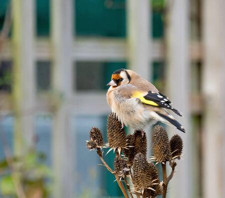 European Goldfinch Adult on Seedhead in garden. Фото со стока