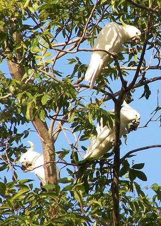cockatoos: Australiani zolfo Crested Cacatua in Gum Tree
