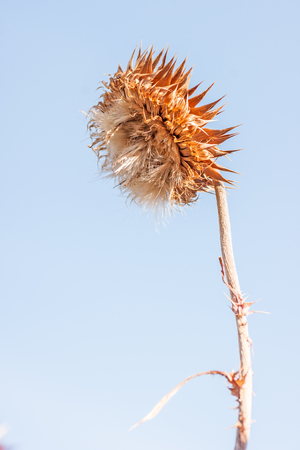 nodding: Musk thistle (Caarduus nutans) or nodding thistle is a biennial noxious weed.  This one is in its final stage.
