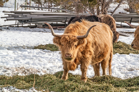 Shaggy haired, long horned Highland cattle.  Notice the grass-stained mouth and nose of the one looking at you.