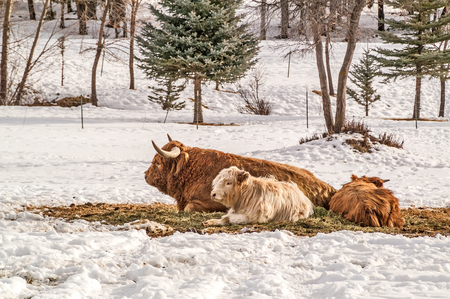 Shaggy haired, long horned Highland cow and calves resting on a winter day. Reklamní fotografie
