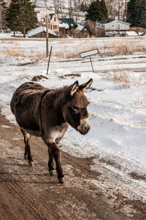 hoofed: Brown donkey with bangs walking down a road  on a winter day Stock Photo