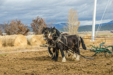 shire horse: Shire horses harnessed to an antique plow which is being used to farm a small plot of land