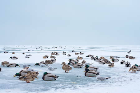 Ducks on the abandoned frozen lake of Lake Balaton. Extreme weather in Hungary in March 2018.