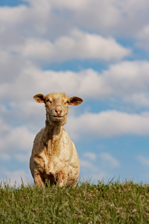 Sheared lamb is standing on the spring field Stok Fotoğraf