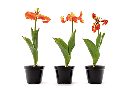 Three red faded tulips with petals in black pots isolated on white background