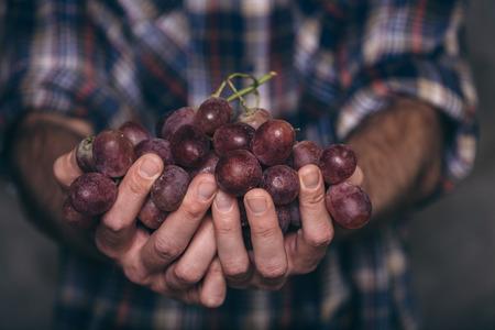 Gardeners hands with fresh grape