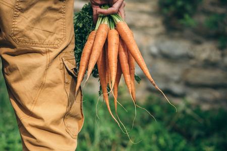 Gardeners hands with fresh carrots