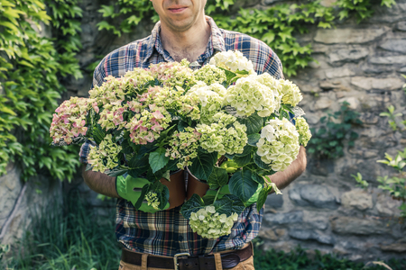 Man holding two hortensias in pots in the garden