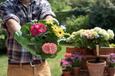 Man holding three gerberas in pots in the garden