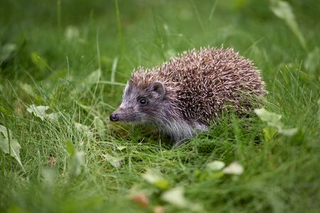 Cute hedgehog in the grass