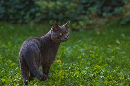 A gray cat hunting in the garden Foto de archivo - 132107013