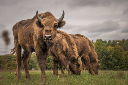 European bison on the field, ?rs?g National Park, Hungary