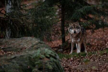 Wolf is standing in Bayerischer Wald National Park, Germany