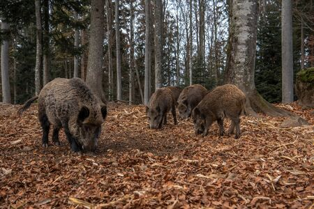 Boars are standing in the autumn forest, in Bayerischer Wald National Park, Germany Banco de Imagens