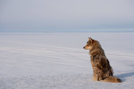 Dog is sitting on Olkhon Island at the Siberian Lake Baikal in winter time Stock fotó