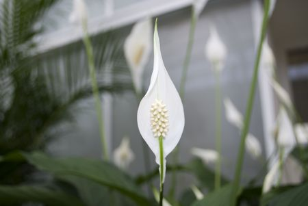 conservatories: White Spathyfilium in a greenhouse Stock Photo