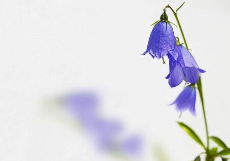 calyxes: A purple flower with calyxes isolated in a white background