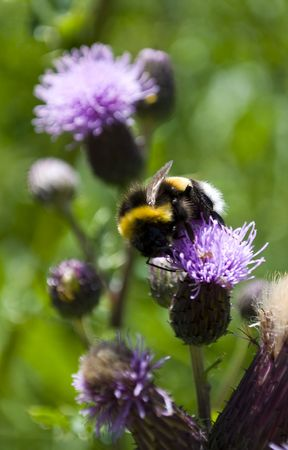 reproducing: A bee very busy with the pollination of a purple plant in the garden