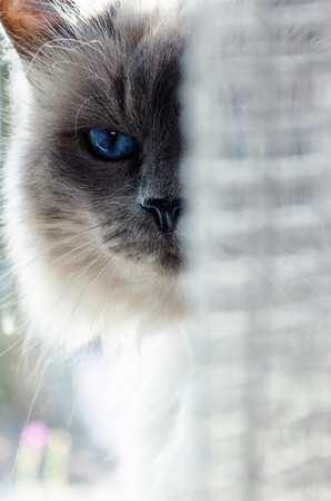 Close up of a holy birman cat hiding behind the curtain