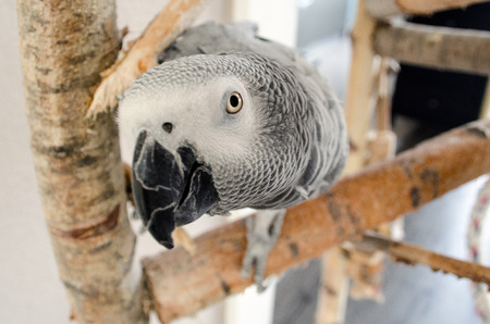 domestication: African gray parrot on a stick