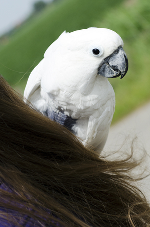 White parrot closeup on the shoulder of a woman Stock Photo