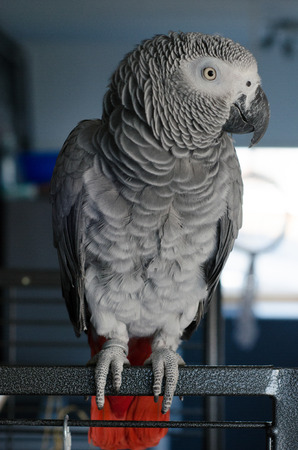 Portrait of a curious african grey parrot sitting playful in the livingroom Stock Photo