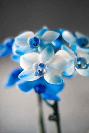 Close up of a blue colored orchid phaleanopsis in the living room