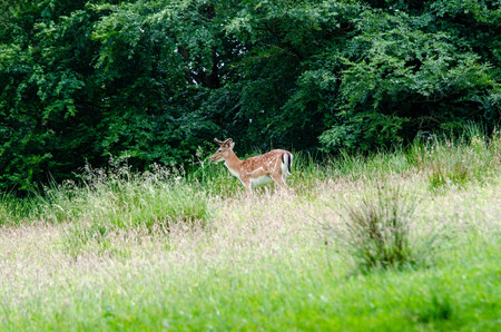 Beautiful dear walking in peace through nature, Haderslev, Denmark