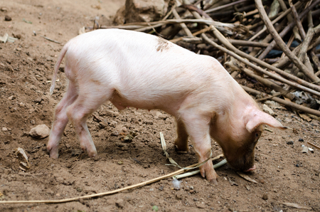 Free pig living in a farm with his family