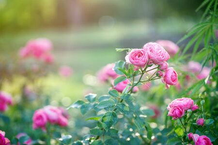 Several pink roses grow in a beautiful garden, blurred background