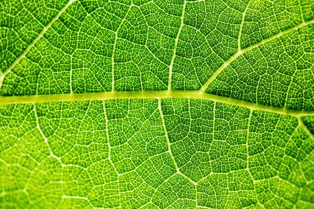 The texture of a grape leaf, the smallest network of feeding veins is similar to the circulatory system and a map of a prestigious area at the same time