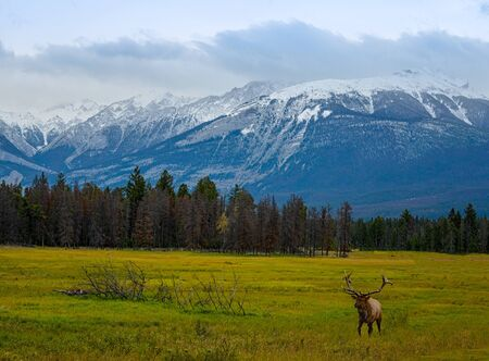 Elk Wapiti Cervus canadensis, Jasper Alberta Kanada travel destination