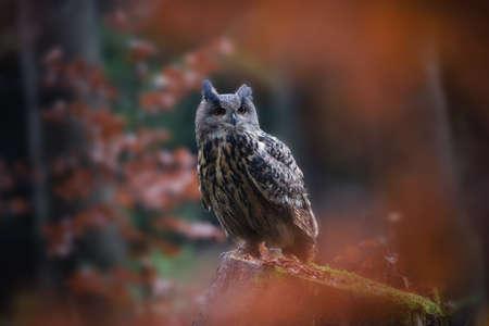 Sitting Eurasian eagle-owl Bubo bubo in wild woodland Stock Photo