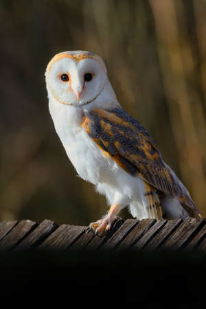 The barn owl, Tyto alba, sitting on a wooden roof Banque d'images