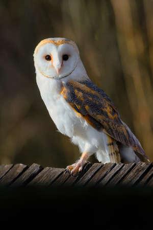 The barn owl, Tyto alba, sitting on a wooden roof Stock fotó