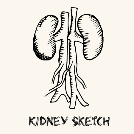 kidney anatomy: human organs in sketches style set. Vector illustration background