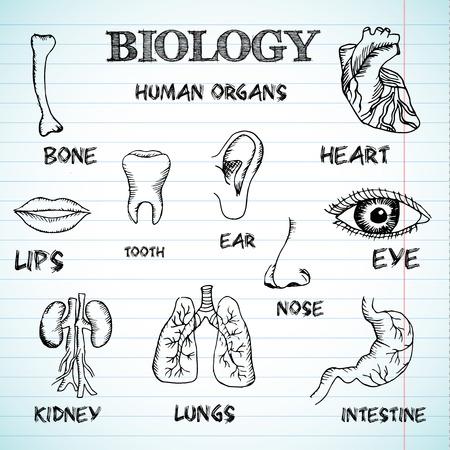 menselijke organen in de sketches stijl set. Vector illustratie backgrou Stock Illustratie