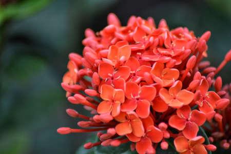 soka flower, beautiful tropical flower, background bokeh