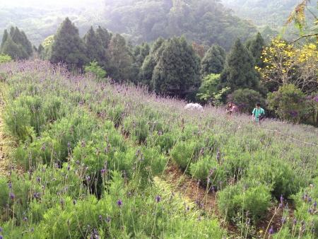 lavendar: lavendar village