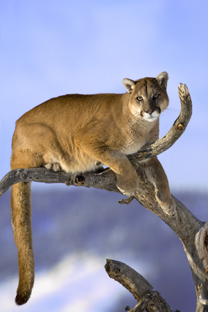lion tail: Mountain lion is sitting on deadwood and looking camera. The adult male mountain lion is sitting on the dead wood. He is looking to camera. He has green eyes. The mountain lion in the middle of the frame. His head, shoulders, forepaws, claws, tail and can