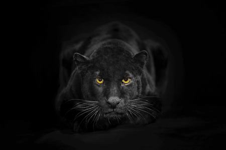 looking towards camera: Black leopard looking camera with yellow eyes on black background. The adult black leopard is looking towards the camera. He also called black panther. He is a melanistic leopard. His color is black but has ghost stripes. His body and ears can recognizabl